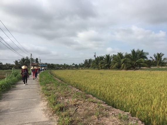 Vast rice paddies on Con Chim islet  (Photo: KK)