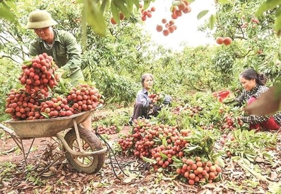 Bac Giang province has an estimated output of over 160,000 tonnes of lychees this year.  (Photo: thoibaonganhang.vn)