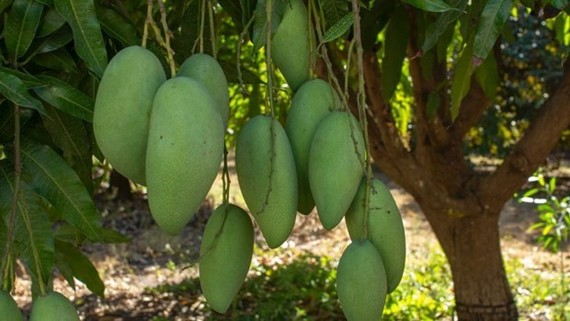Vietnamese green mango exports to Australia double in H1. (Photo: abc.net.au)