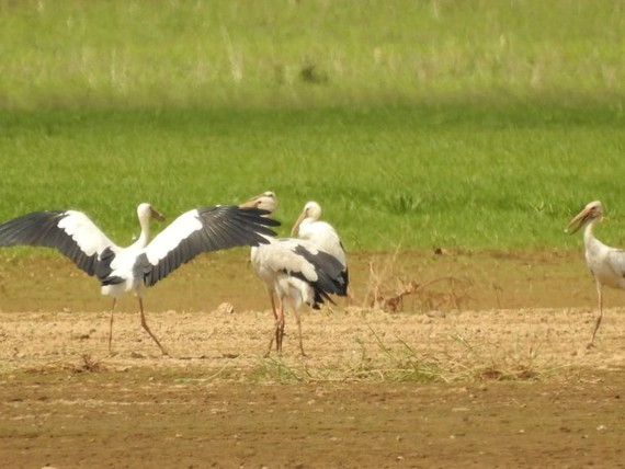 Hundreds of painted stork (Mycteria leucocephala) in Dong Nai Culture and Nature Reserve