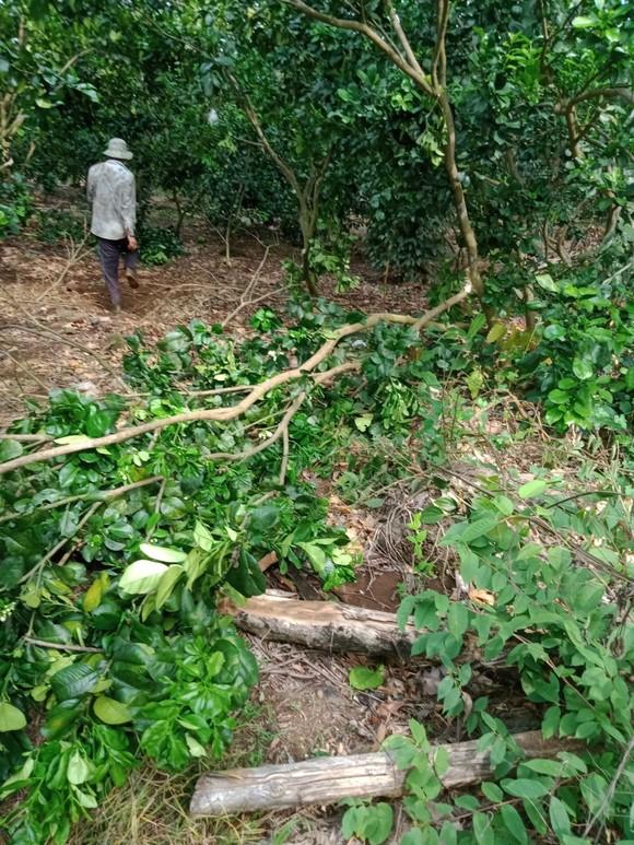Voi rừng ở Đồng Nai tiếp tục phá vườn rẫy của người dân ảnh 3