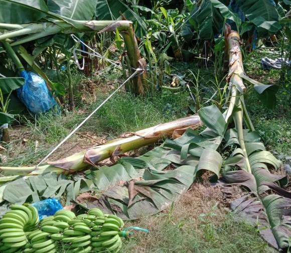 Voi rừng ở Đồng Nai tiếp tục phá vườn rẫy của người dân ảnh 2