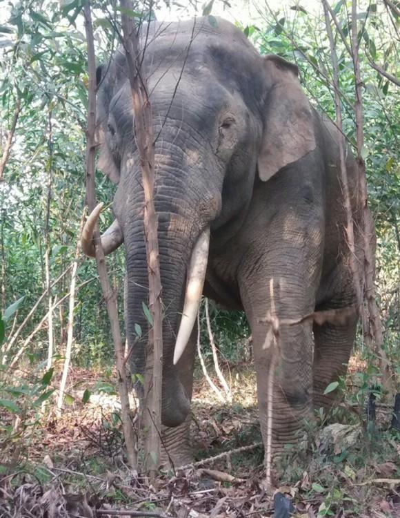 Voi rừng ở Đồng Nai tiếp tục phá vườn rẫy của người dân ảnh 1