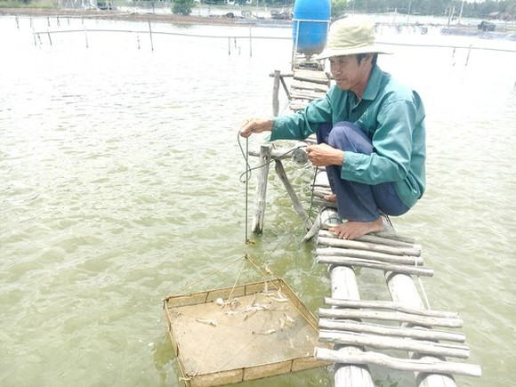 Shrimp breeding in Can Gio District (PHoto: SGGP)
