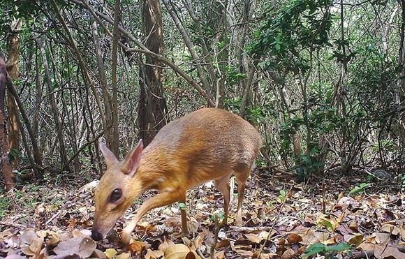 A silver-backed chevrotain (Tragulus versicolor), a critically endangered species, is spotted by a camera trap on June 21, 2018 in the Nui Chua National Park of Ninh Thuan province (Source: AFP/VNA)