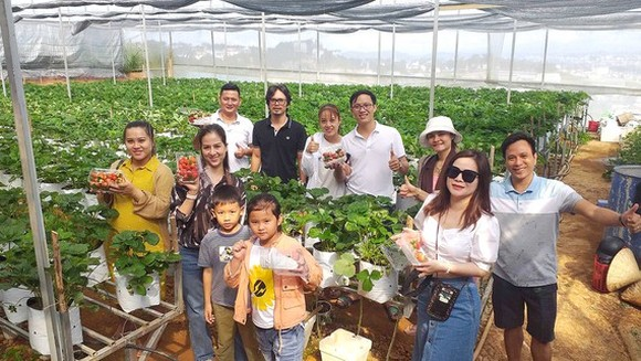 Tourists are excited to pick up strawberry at a farm in Da Lat City (Photo:SGGP)