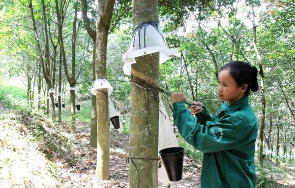Most rubber companies were setting cautious profit targets for this year over forecasts that rubber prices will stay at low levels.  (Photo: VNA/VNS)