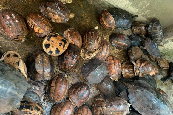 Turtles are found at Hoang Minh Trien's house (Photo: Internet)