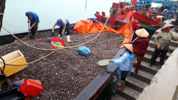 Fishermen bring average 120- 150 tons of clams a day