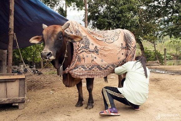 Residents keep animals warm under cold weather (Photo: Nghe An Newspaper)