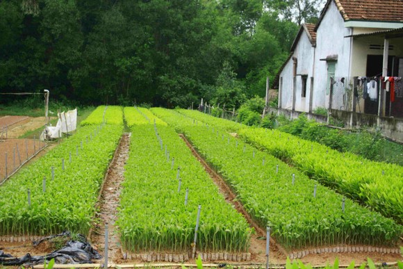 Để hạn chế thiệt hại, người trồng keo cần mua keo tại các vườn ươm đủ tiêu chuẩn. Ảnh: NGUYỄN TRANG
