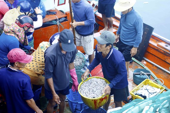 Ngư dân Quảng Ngãi vui mùa cá cơm đến sớm ảnh 1