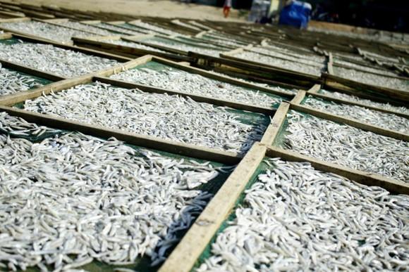 Ngư dân Quảng Ngãi vui mùa cá cơm đến sớm ảnh 10