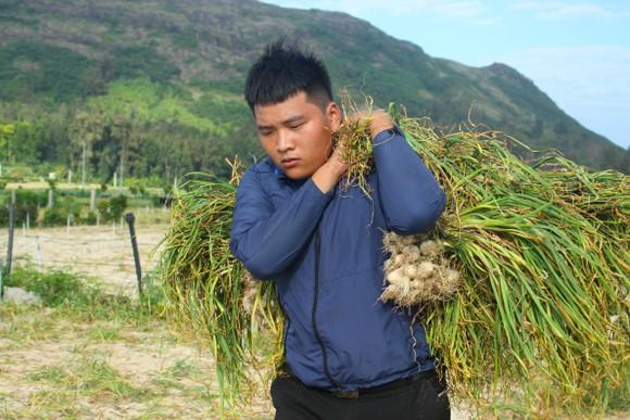 Mùa thu hoạch tỏi trên đảo Lý Sơn ảnh 7