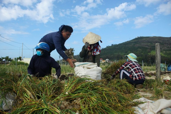 Mùa thu hoạch tỏi trên đảo Lý Sơn ảnh 2