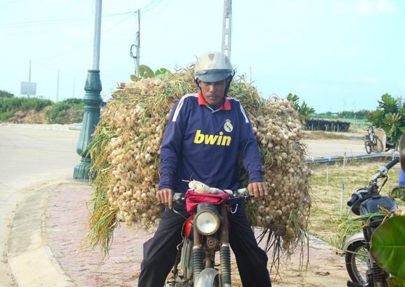 Mùa thu hoạch tỏi trên đảo Lý Sơn ảnh 10