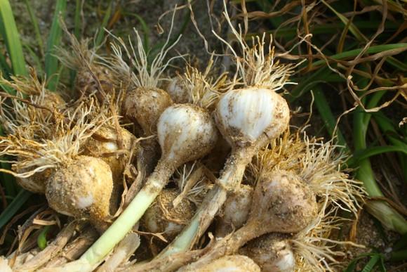 Mùa thu hoạch tỏi trên đảo Lý Sơn ảnh 9