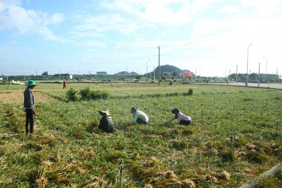 Mùa thu hoạch tỏi trên đảo Lý Sơn ảnh 12