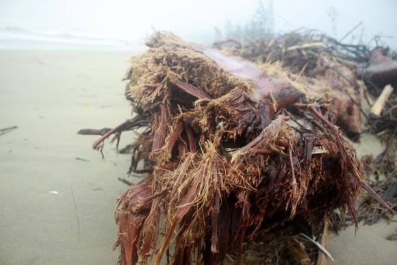 Củi khô bủa vây hơn 10km bờ biển Mỹ Khê, Quảng Ngãi ảnh 8