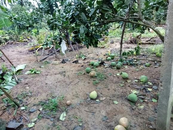 Quảng Ngãi: Nhiều nhà vườn trồng cây ăn trái bị thiệt hại nặng sau mưa bão ảnh 9