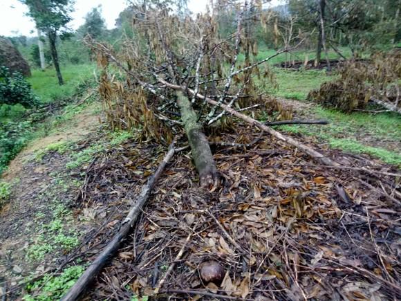 Quảng Ngãi: Nhiều nhà vườn trồng cây ăn trái bị thiệt hại nặng sau mưa bão ảnh 4