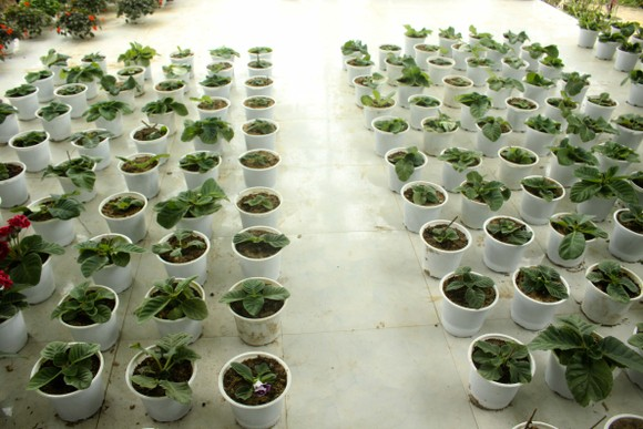 Quảng Ngãi: Rực rỡ 5.000 chậu hoa ngoại nhập của lão nông  ảnh 2