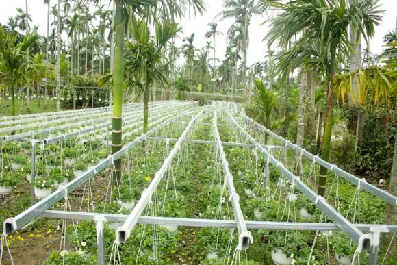 Quảng Ngãi: Rực rỡ 5.000 chậu hoa ngoại nhập của lão nông  ảnh 12
