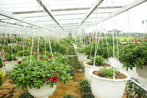 Quảng Ngãi: Rực rỡ 5.000 chậu hoa ngoại nhập của lão nông  ảnh 7