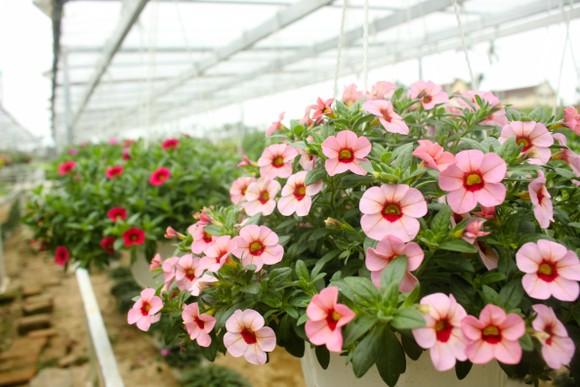 Quảng Ngãi: Rực rỡ 5.000 chậu hoa ngoại nhập của lão nông  ảnh 6