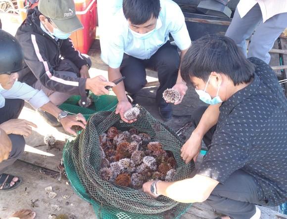 Thành công nuôi nhum sọ bảo vệ nguồn lợi thủy sản biển đảo Lý Sơn ảnh 2