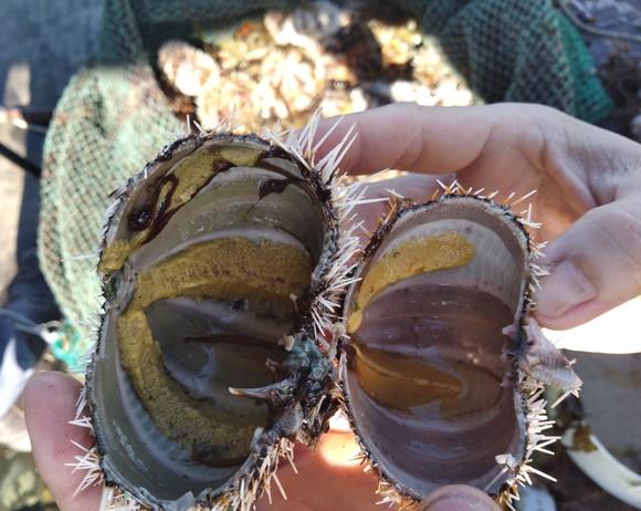 Thành công nuôi nhum sọ bảo vệ nguồn lợi thủy sản biển đảo Lý Sơn ảnh 4