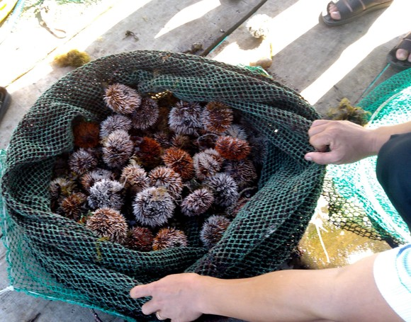 Thành công nuôi nhum sọ bảo vệ nguồn lợi thủy sản biển đảo Lý Sơn ảnh 3