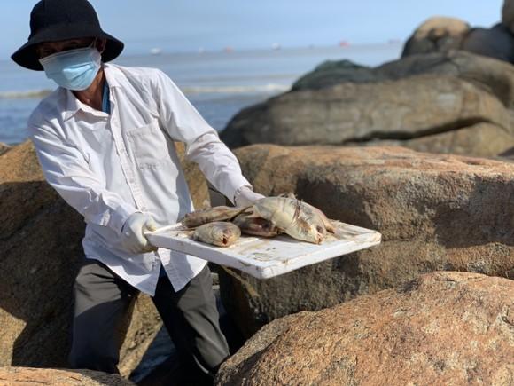Quảng Ngãi: Chôn lấp hơn 5 tấn cá nuôi lồng bè bị chết sau bão số 5 ảnh 10
