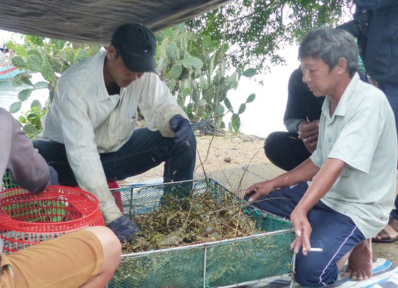 Người nuôi hải sản ở Phú Yên xuất bán tôm hùm trước khi bão số 5 đổ bộ ảnh 3