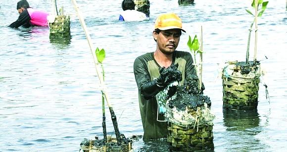 Trồng lại rừng ngập mặn ở Indonesia