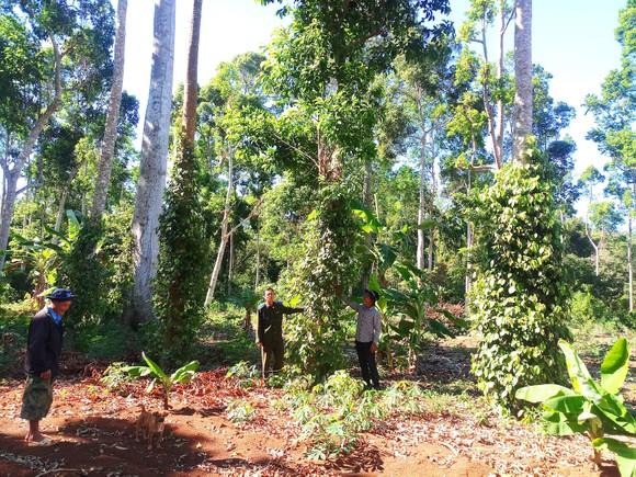 Tây Nguyên đẩy mạnh trồng rừng gỗ lớn ảnh 1
