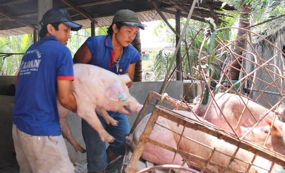 本市檢查來歷不明的豬隻。(圖源:陳孟)