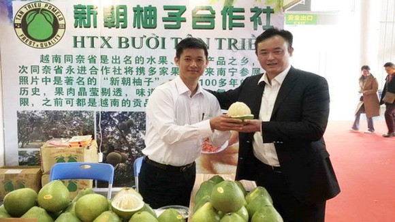越南華人果農向廣西客戶推介新朝柚子。