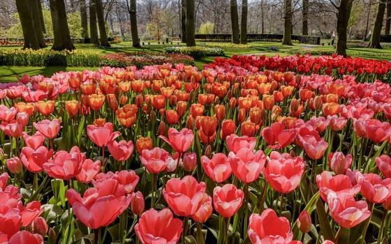荷蘭南部著名的庫肯霍夫花卉公園71年來首次不對公眾開放。(圖源:互聯網)