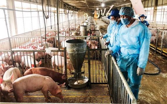 在復養過程中,各養豬場須遵守生物安全規定,預防感染非洲豬瘟。