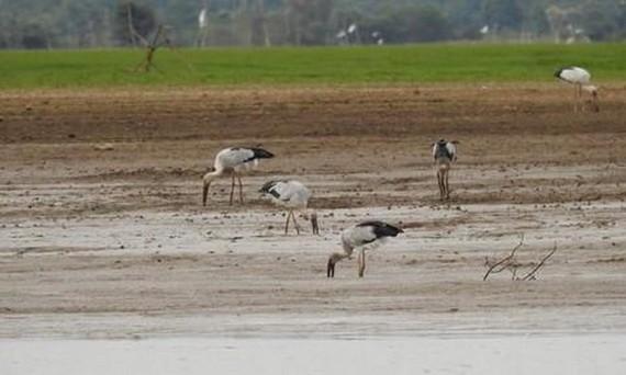 一群白頭䴉鸛在治安湖邊淺水處覓食。(圖源:同奈自然文化保護區)