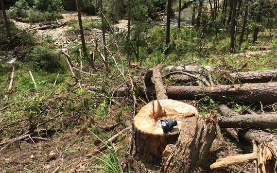 剛被砍伐沒多久的一棵大松樹。(圖源:TTO)