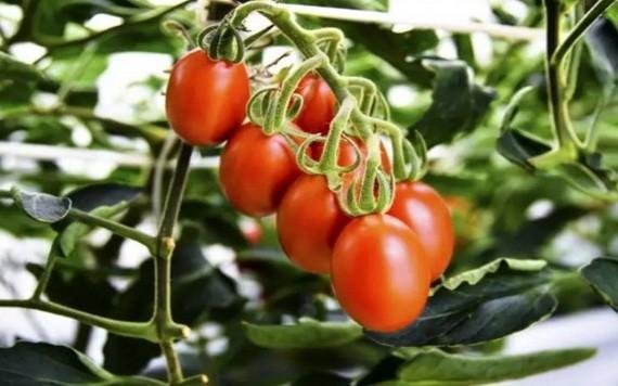 基因編輯番茄含更多降血壓成分。(示意圖源:互聯網)