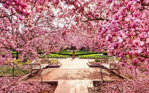 一路繁花盛開,令人讚歎的櫻花。