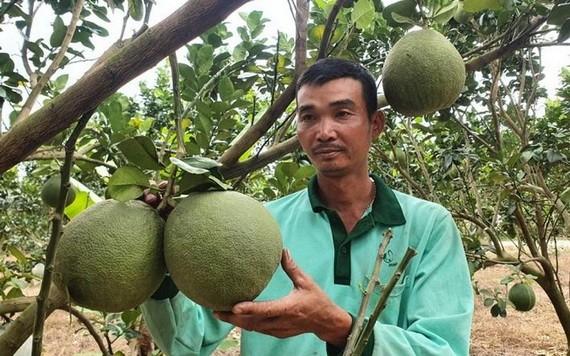 綠皮柚跌價滯銷