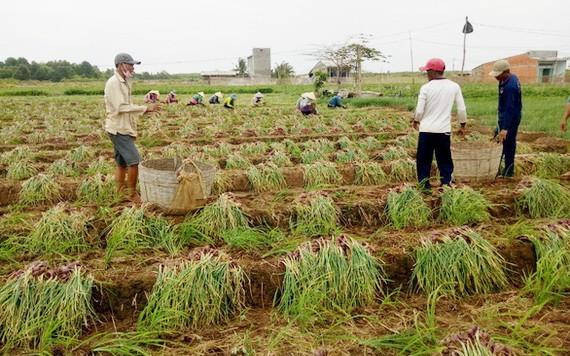 滀臻省珠洋市農民在收穫紫蔥頭。(圖源:文德)