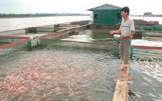 一名男子在給河上網箱養殖的查魚投餵飼料。(圖源:FarmVina)