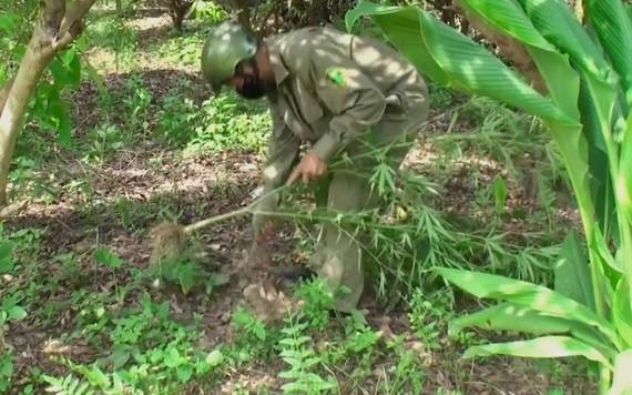職能力量將非法種植的大麻植物拔除送去銷毀。(圖源:警方提供)