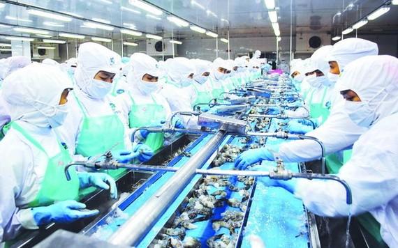 金甌省明富水產廠的出口蝦隻加工一瞥。