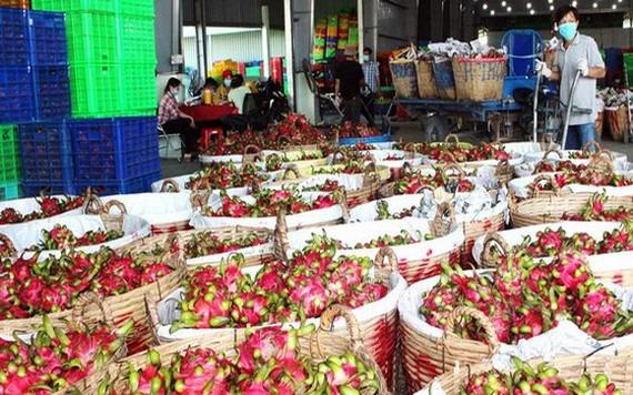 隆安省州城縣火龍果進入收穫季節。